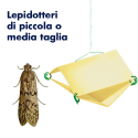 Traptest (Lobesia botrana)