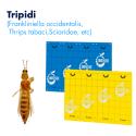 Glutor (Tripidi)