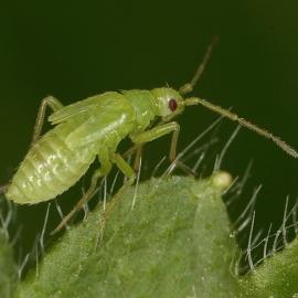 Foto Macrolophus Pygmaeus