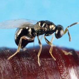 Foto Nasonia Vitripennis