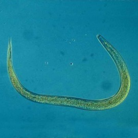 Foto Heterorhabditis Bacteriophora