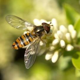 Foto Episyrphus Balteatus