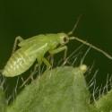 Foto di Macrolophus Pygmaeus